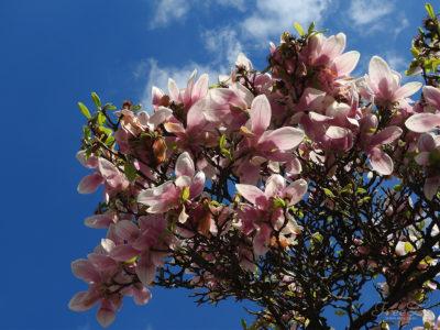Překrásné kvetoucí magnolie na Jižním Předměstí v Plzni